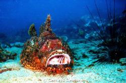 Stone - Fish, Anemon Reef by Gerhard Siemons