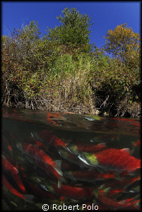 Wading through the beautiful red mass. by Robert Polo