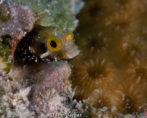 Secretary Blenny...Bonaire by Jim Garber