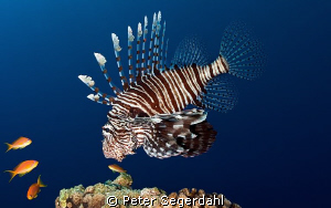 Lionfish looking for lunch by Peter Segerdahl