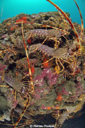 8 Common spiny lobsters (Palinurus elephas), on 1 square ... by Mathieu Foulquié