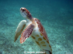 """Standing Tall""  is a juvenile green sea turtle with quit... by Angela Hadden"