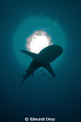 We were on a shark shoot, trying to get the animals again... by Edward Druy