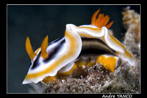 Typical Nudi shot from my sunset dive in Mabul. Nikon D20... by Andre Yanco