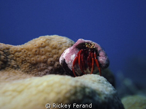 Red hermit crab by Rickey Ferand