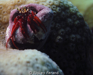 Red hermit crab close-up by Rickey Ferand
