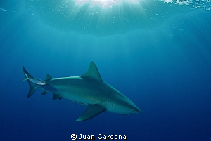bull shark changing color ... by Juan Cardona