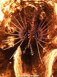 island of mindanoa..sealife DC-1000...lionfish..process o... by Richard Campbell