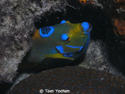 Angel Fish in Bonaire. by Tom Yochim
