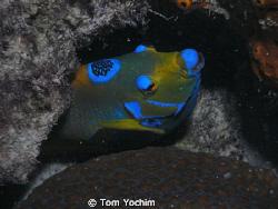 Angel Fish in Bonaire. by Tom Yochim