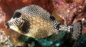 Smooth Trunkfish, Negril, Jamaica, Ikelite Housing, Nikon... by Philip Norris