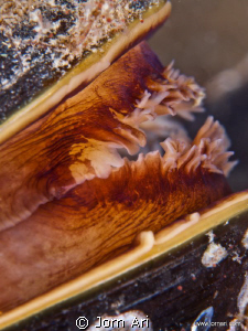 Blue mussel, (Mytilus edulis) 