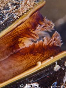Blue mussel, (Mytilus edulis)  Super closeup of a Blue M... by Jorn Ari