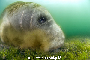 Manatee grazing_Crystal river_Florida by Mathieu Foulquié