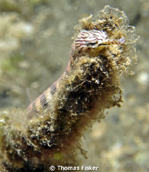 Pipefish. Photo taken in Lembeh Straith.  
