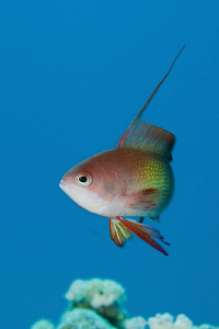 Male Anthias, 60mm macro lens with +2 diopter by Paul Colley