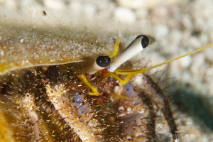 Close up of a Hermit Crab.  60mm macro with +3 diopter by Paul Colley