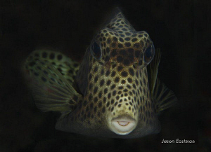Inquisitive Trunkfish:  Numerous hours spent trying to g... by Jason Eastman