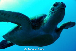 Loggerhead on the inner reefs of West Palm Beach. DC1200 by Andrew Raak