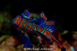 Mating Mandarin Fish off Puerto Galera in the Philippines... by Michael Johnson