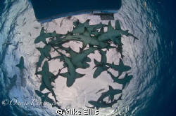 Feeding Lemon sharks keep all but the brave away from the... by Mike Ellis