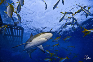 This image of a Reef Shark was taken during a dive at Gin... by Steven Anderson