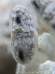 white mantis Shrimp eye by Andrew Macleod