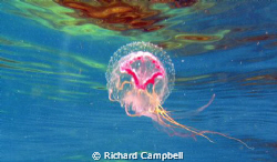 jellyfish--illuminated.. by Richard Campbell