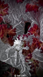 Happy new year Hoplophrys oatesii by Jun Lao