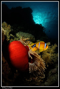 Magnificent anemone and Red Sea anemonefish. by Dray Van Beeck
