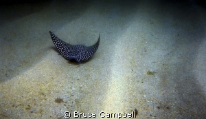 Eagle ray following the contours of the sandy bottom. by Bruce Campbell