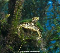 Taken in Aquarena Spring Lake San Marcos, Texas. The turt... by Robert Michaelson