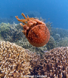 jellyfish--sealife DC1000.... by Richard Campbell