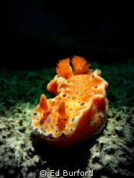 Nudi Spotlight by Ed Burford