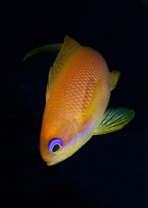 Female Anthias by Paul Colley