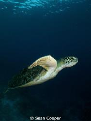 Green sea turtle by Sean Cooper