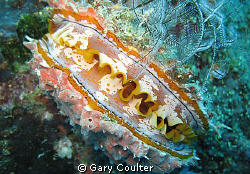 Clolourful Clam by Gary Coulter