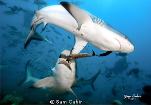 Dominance - The first dive of 2011 sees these two grey re... by Sam Cahir