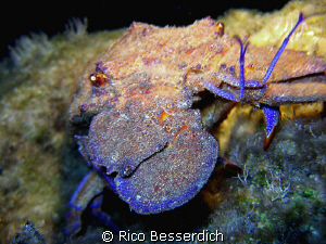 Spanish lobster ( Nightdive Shot ). Olympos 7070, MB-SUB ... by Rico Besserdich