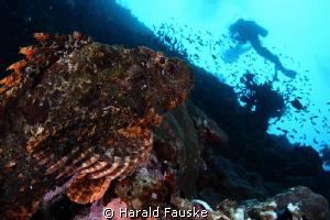 Scorpionfish studying som strange fishes :) by Harald Fauske