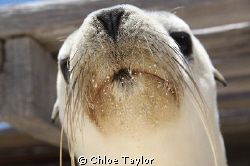 Sea lion pup, Abrolhos Islands by Chloe Taylor