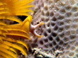 Christmas Tree worm. Canon G10 by Andrew Macleod