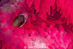 Pretty in Pink.. by Tunc Yavuzdogan