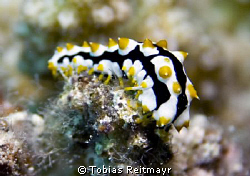 Is it a nudi? More a juvenile Graeff´s sea cucumber...Abu... by Tobias Reitmayr