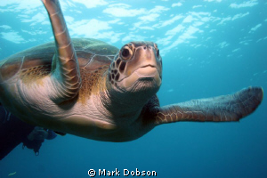 A friendly turtle followed us on a number of dives off Te... by Mark Dobson