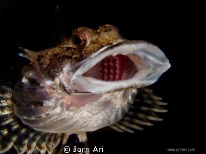 Short-spined sea scorpion - (Myoxocephalus scorpius) Pho... by Jorn Ari