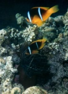 Clown Fish, Eilat, Red Sea, Ikelite Housing, Pentax SF10,... by Philip Norris