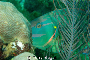 This is a stoplight parrotfish that was cruising by.  It ... by Terry Stigall