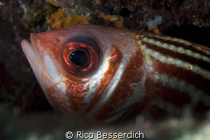 Soldier-fish closeup by Rico Besserdich