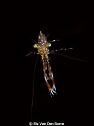 Small shrimp by Els Van Den Borre